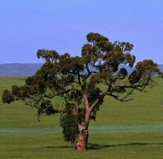 eucalyptus reed diffuser oil