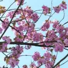 Japanese cherry blossom reed diffuser oil