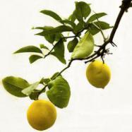 Lemon tree reed diffuser oil