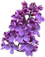 lilac blossom reed diffuser oil