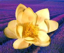 lotus-flower-and-lavender-reed-diffuser-oil.jpg