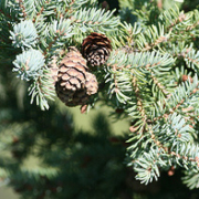 Canadian Spruce